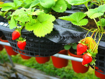 Pick Strawberry in Neihu during Weekend