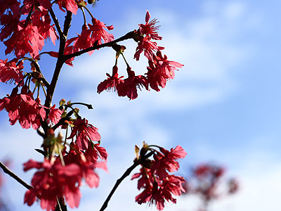 【Traveler series】Cherry Blossom Season in Nantou