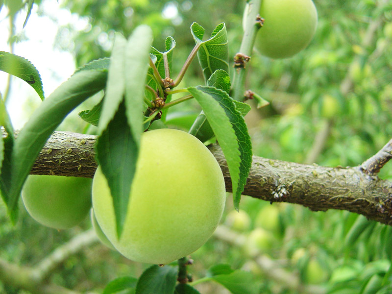 2012 Plum Season in Nantou County